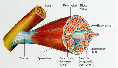 connective_tissue